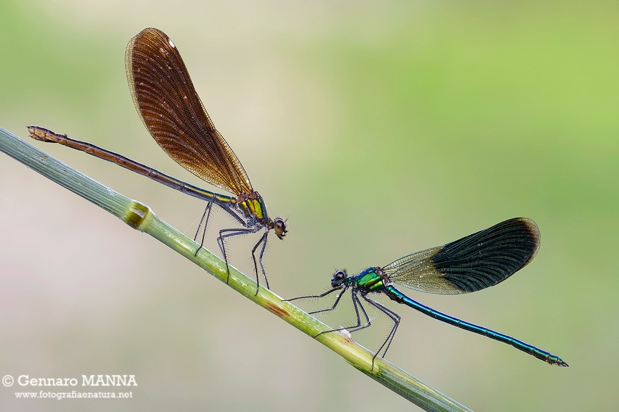Calopteryx splendends