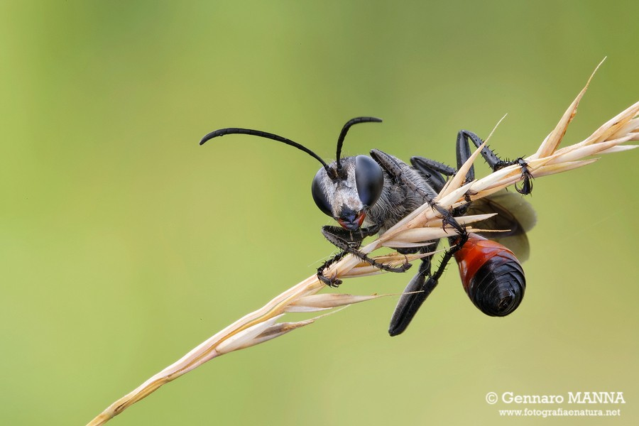Prionyx kirbii ( Sphecidae)
